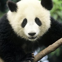 Выбираем одежду и аксессуары c изображениями панды>