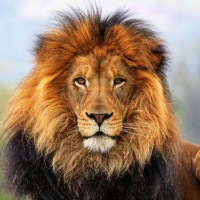 Одежда и аксессуары c изображениями льва>