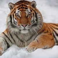 Подборка одежды и аксессуаров с изображениями тигра>