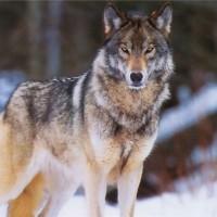 Одежда и аксессуары с принтами волка>