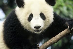 Выбираем одежду и аксессуары c изображениями панды