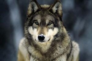 Подборка одежды и аксессуаров с принтами Wolf