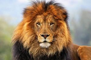 Одежда и аксессуары c изображениями льва