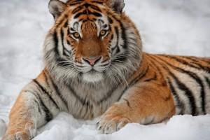 Подборка одежды и аксессуаров с изображениями тигра
