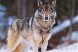 Одежда и аксессуары с принтами волка